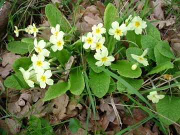 Primula vulgaris Copyright: Graham Smith