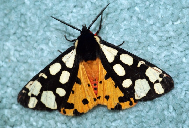 Cream-spot Tiger Moth Copyright: Ben Sale