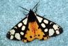Cream-spot Tiger Moth Copyright: Ben Sale