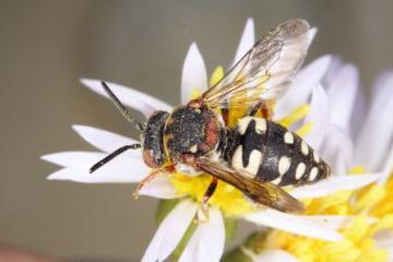Epeolus variegatus Copyright: Peter Harvey