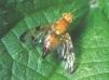 Xyphosia miliaria Copyright: Peter Harvey