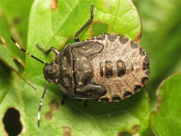 Rhaphigaster nebulosa late instar nymph 20150925-4612 Copyright: Phil Collins