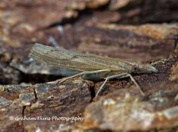 Pediasia contaminella 2 Copyright: Graham Ekins