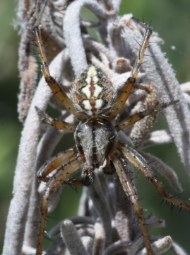 Close up of male Neoscona adianta Copyright: Colin Humphrey