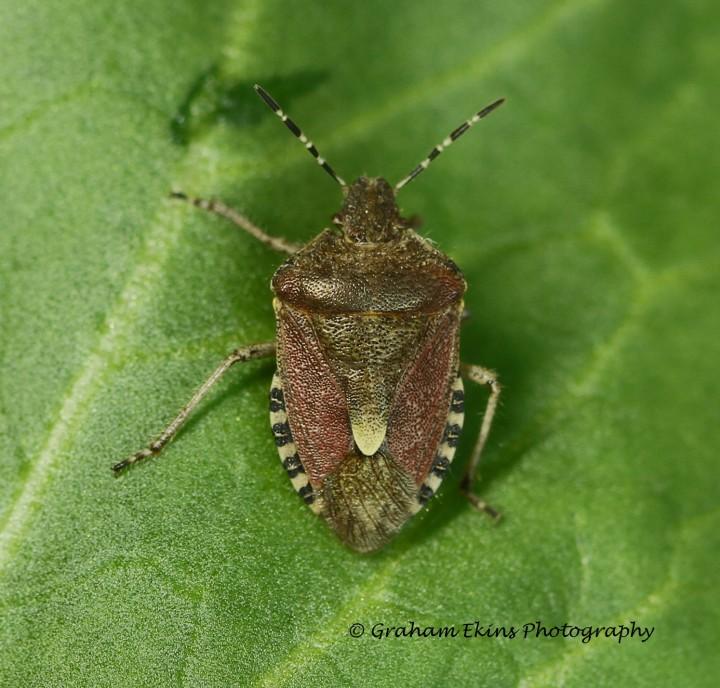 Dolycoris baccarum  (hairy Shieldbug) 2 Copyright: Graham Ekins