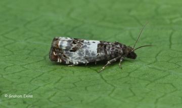 Notocelia trimaculana Copyright: Graham Ekins