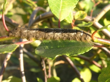 Lappet larva Copyright: Martin Anthoney