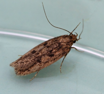 Hofmannophila pseudospretella  (Brown House Moth) Copyright: Graham Ekins