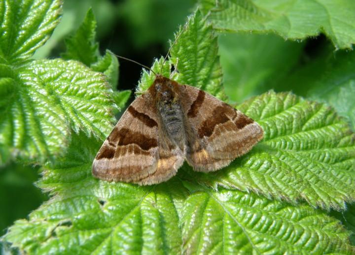 Burnet companion moth Copyright: Sue Grayston