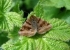 Burnet companion moth Copyright: Sue Grayston