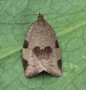 Lozotaenia forsterana 3 Copyright: Graham Ekins