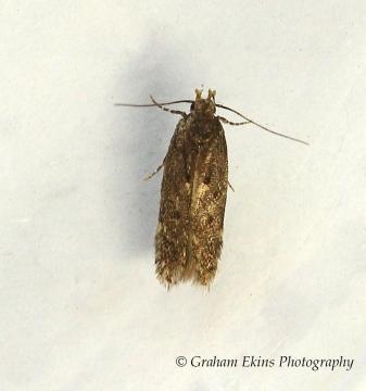 Scrobipalpa acuminatella 3 Copyright: Graham Ekins
