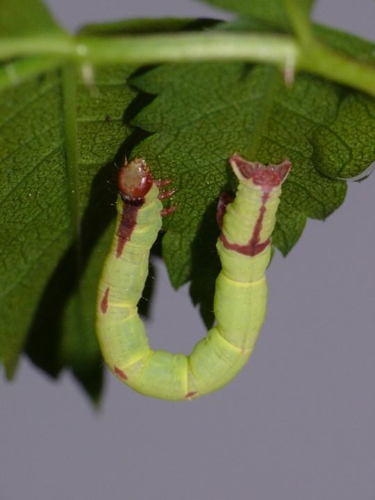 Streamer moth larva 2 Copyright: Peter Furze