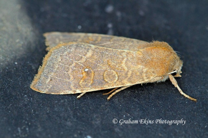 pale -lemon Sallow  (Cirrhia ocellaris) Copyright: Graham Ekins