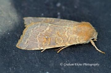 pale -lemon Sallow  (Cirrhia ocellaris) Copyright: Graham Ekins