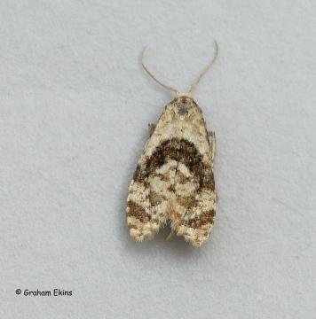 Phalonidia manniana Copyright: Graham Ekins
