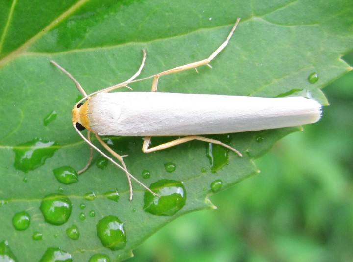 Hoary Footman 2013 Copyright: Kathleen Black