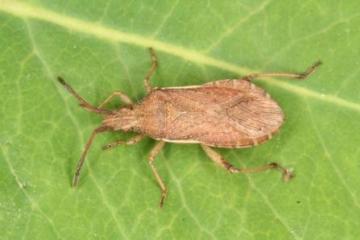 Ceraleptus lividus
