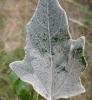 Phyllocistis xenia Copyright: Stephen Rolls