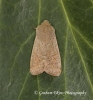 Small Quaker Orthosia cruda Copyright: Graham Ekins