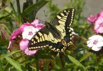 Swallowtail Copyright: Sue Grayston