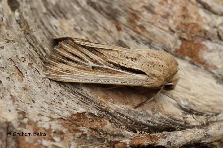 Leucania comma  Shoulder-striped Wainscot 1 Copyright: Graham Ekins