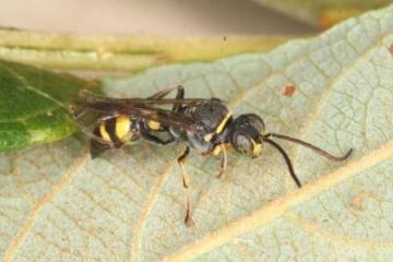 Lestiphorus bicinctus Copyright: Peter Harvey