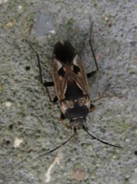 Rhyparochromus vulgaris Copyright: Enid Barrie
