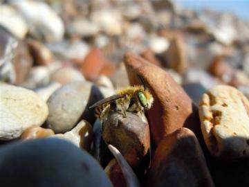 Silvery Leaf Cutter Bee Copyright: Danny Harris