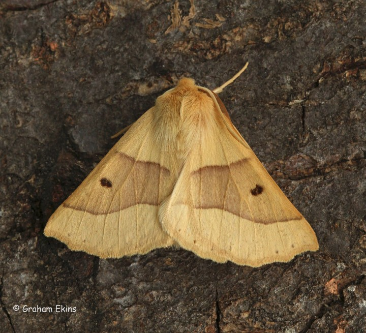 Scalloped Oak  Crocallis elinguaria Copyright: Graham Ekins