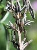 Male Neoscona adianta Copyright: Colin Humphrey