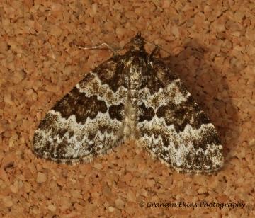 Broken-barred Carpet  Electrophaes corylata Copyright: Graham Ekins