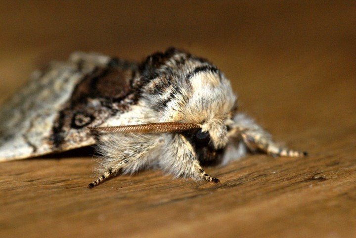 Nut-tree Tussock 2 Copyright: Ben Sale