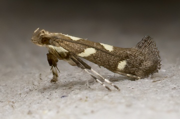 Calybites phasianipennella 17-07-2020 Copyright: Bill Crooks