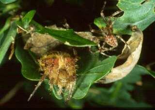Araneus diadematus pair Copyright: Peter Harvey