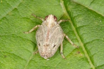 Issus coleoptratus Copyright: Peter Harvey