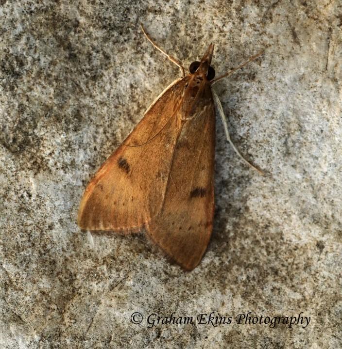 Uresiphita gilvata Copyright: Graham Ekins