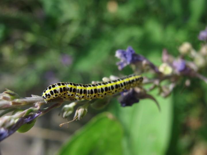 Toadflax brocade larva Copyright: Kim Prowse