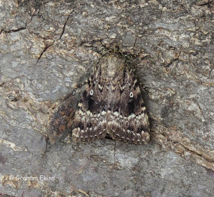 Amphipyra pyramidea Copper Underwing Copyright: Graham Ekins