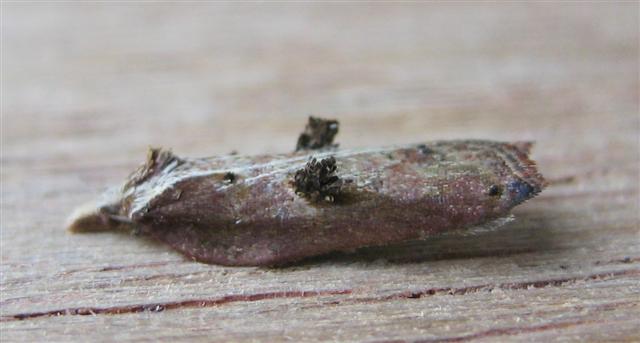 Acleris cristana. Copyright: Stephen Rolls