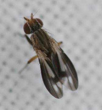 Trixoscelis marginella 1 Copyright: Robert Smith