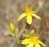 Adelphocoris lineolatus on St Johns Wort Copyright: Robert Smith