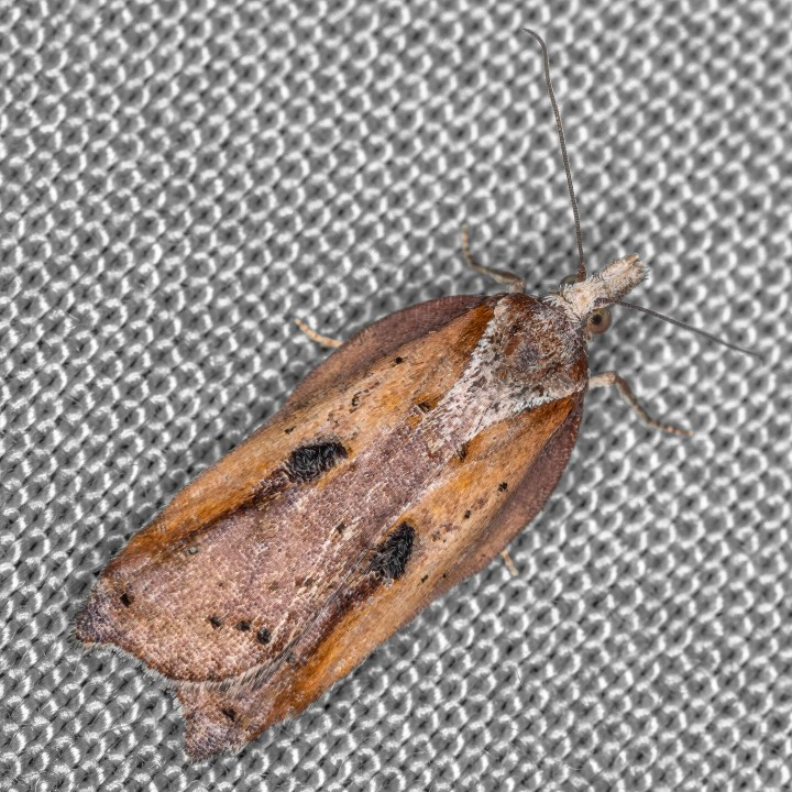 Acleris cristana 21-02-2021 Copyright: Bill Crooks