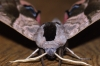 Eyed Hawk-moth 3 Copyright: Ben Sale
