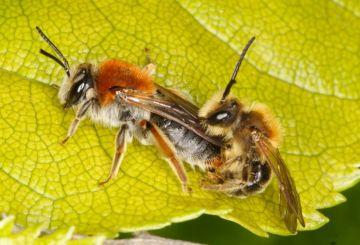 Andrena haemorrhoa mating pair Copyright: Peter Harvey