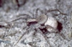 Xerolycosa nemoralis Copyright: Peter Harvey