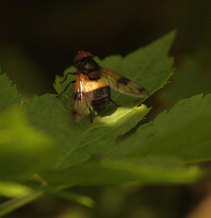 Pellucid Fly - 30th June 2013 Copyright: Ian Rowing