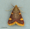 Hypsopygia costalis 2 Copyright: Graham Ekins