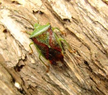 Birch Shield Bug Copyright: Graham Smith