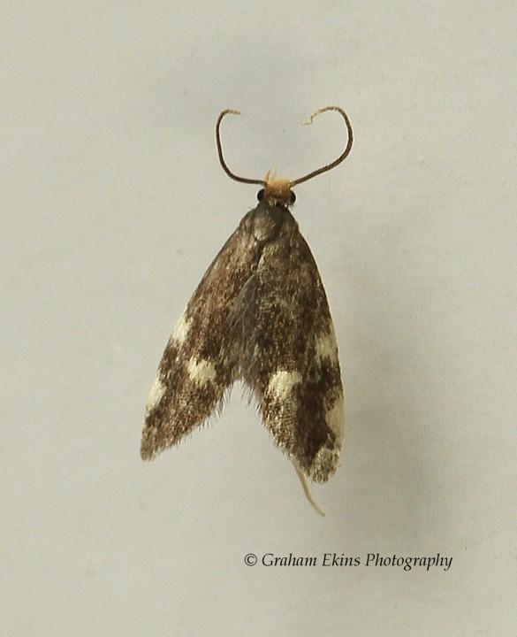 Telechrysis tripuncta 2 Copyright: Graham Ekins